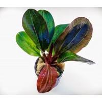 Эхинодорус Хади красный жемчуг (Echinodorus hadi red pearl)