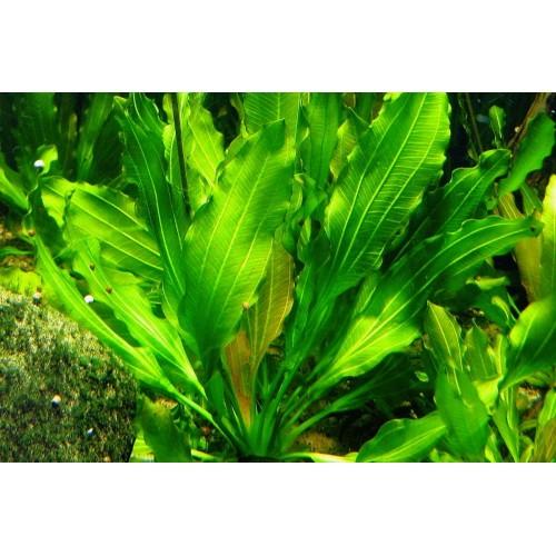 Эхинодорус озирис рубра (Echinodorus osiris Rubra)