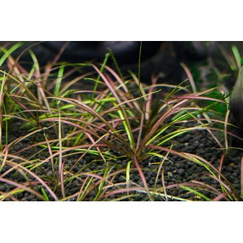 Эхинодорус рубра (Echinodorus tenellus rubra)