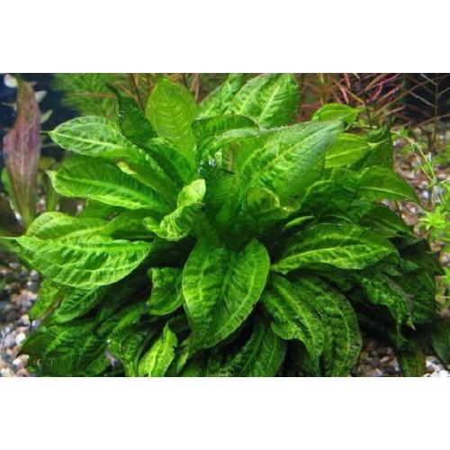 Эхинодорус мелкоцветный Тропика (Echinodorus parviflorus Tropica)