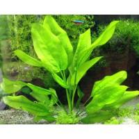 Эхинодорус Шлютера (Echinodorus schlueteri)