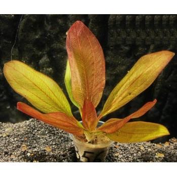 Эхинодорус Йени (Echinodorus Yeni)