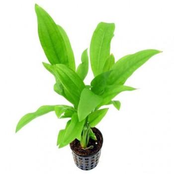 Эхинодорус Перуэнсис или мелкоцветный (Echinodorus peruensis)