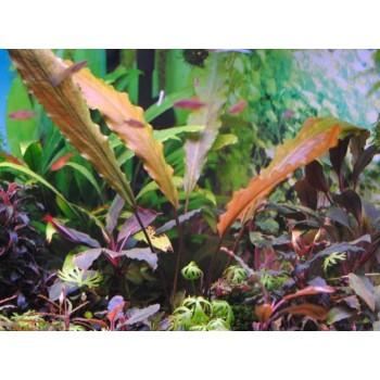 Лагенандра керальская (Lagenandra keralensis)