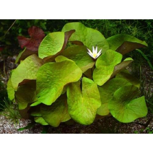 Нимфея рудге раджа (Nymphaea rudgeana)