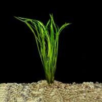 Валлиснерия (Vallisneria)  (Пучок 5 метелок)