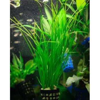 Валлиснерия нана (Vallisneria nana)