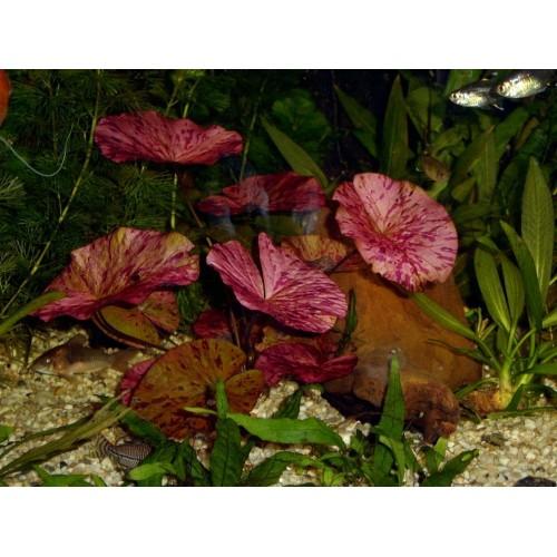 Нимфея лотус красная Nymphaea lotus Red