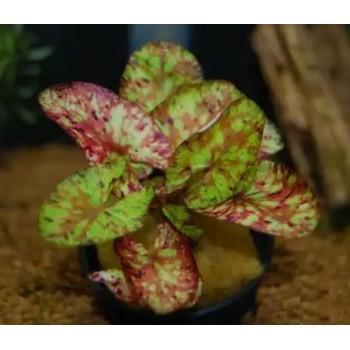 Нимфея живородящая (Nymphaea micrantha)