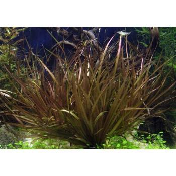 Бликса Новогвинейская (Blyxa novoguineensis)