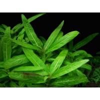 Стаурогин гроу Лоу (Staurogyne sp. Low Grow)