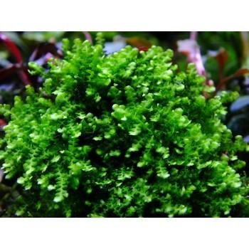 Мох камерун (Plagiochilaceae sp. Cameroon moss)
