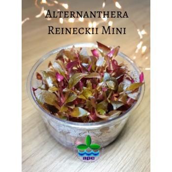 Альтернантера Рейнека мини - Alternanthera reineckii mini T/C CUP - Меристемное растение