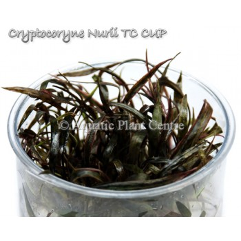 Криптокорина нури - Cryptocoryne nurii T/C [Small] CUP - Меристемное растение
