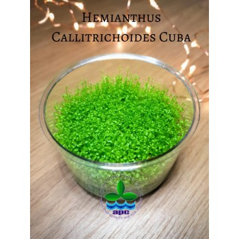 Хемиантус куба - Hemianthus callitrichoides Cuba T/C CUP