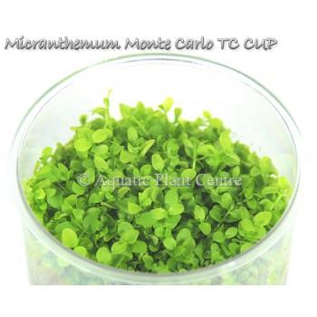 Микрантемум монте карло - Micranthemum monte carlo T/C CUP