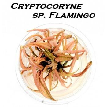 Криптокорина Фламинго - Cryptocoryne flamingo T/C [Small]