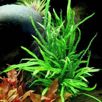 Папоротник тридент (Microsorum pt. Trident)