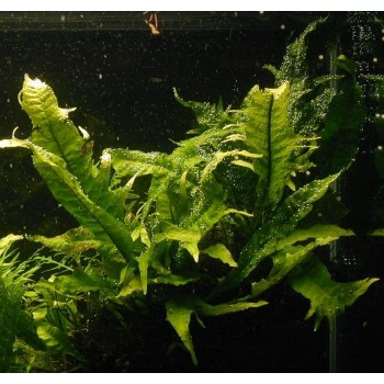 Папоротник таиландский Тропика (Microsorum pteropus Tropica)