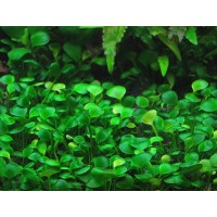 Марсилия (Marsilea quadrifolia)