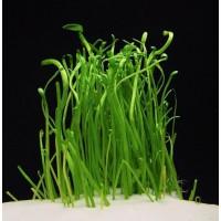 Лилеопсис макловиана (Lilaeopsis macloviana)