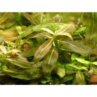 Стаурогин браун (Staurogyne sp. brown)