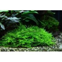Мох кристмас «Christmas moss»