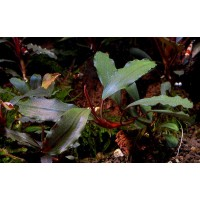 Bucephalandra narcissus 2