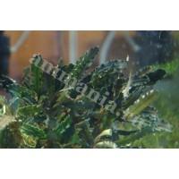 Bucephalandra sp. Giant velvet